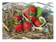 Les fraisiers vivaplante for Fraisier darselect