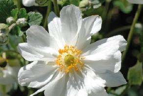 An mone du japon blanche vivaplante - Anemone du japon blanche ...