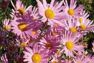 Chrysanth me vivace rose vivaplante - Chrysantheme entretien ...