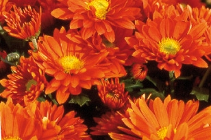 Chrysanthème vivace orange   Vivaplante