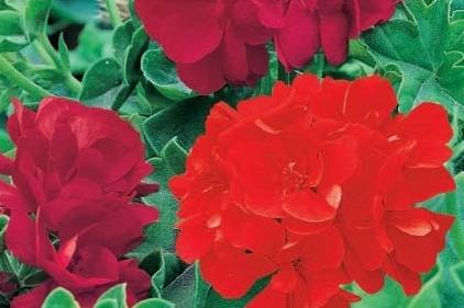 G ranium lierre double vivaplante - Geranium lierre double retombant ...