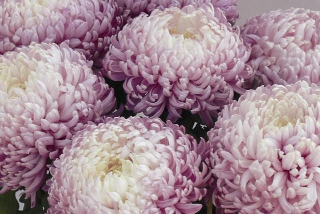 Basilic cannelle vivaplante part 17 - Chrysantheme entretien ...