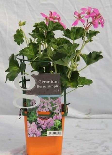 G les g raniums en maxipot 39 e vivaplante for Comment arroser les geraniums
